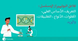 تفاعل البوليميراز المتسلسل l التعريف، الأساس العلمي، الخطوات، الأنواع، والتطبيقات