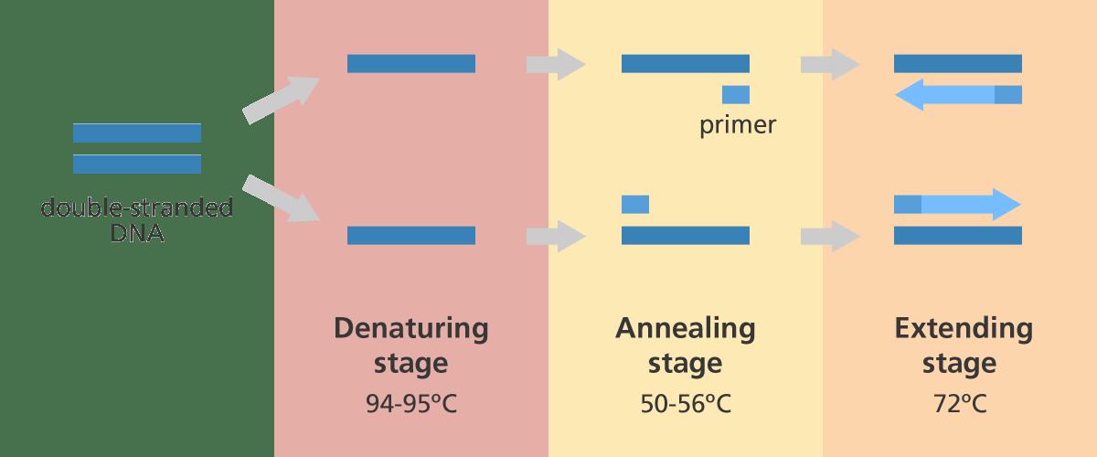 خطوات تفاعل البوليميراز المتسلسل ودرجة الحرارة