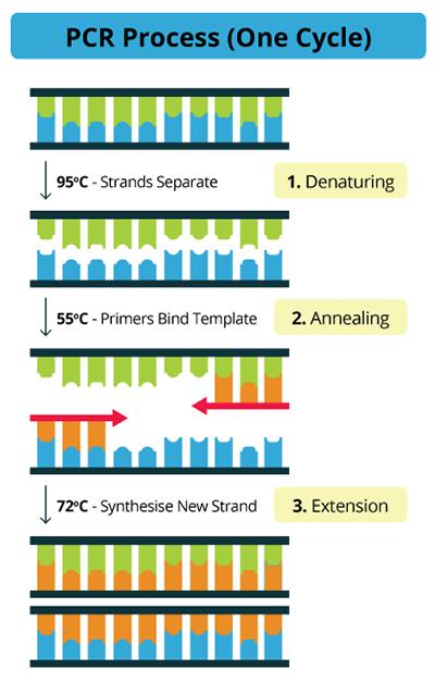 خطوات تفاعل البوليميراز المتسلسل