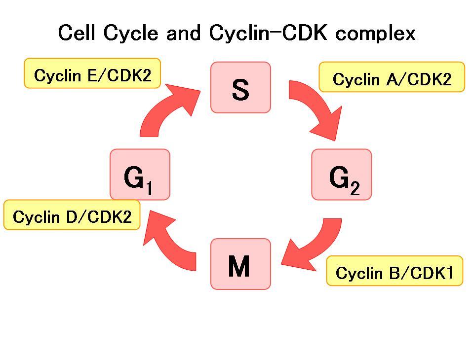 دور السايكلينات في تنظيم دورة الخلية