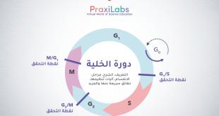 دورة الخلية: التعريف، الشرح، المراحل، آليات التنظيم والمزيد