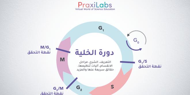 دورة الخلية:التعريف، الشرح، المراحل، آليات تنظيمها و أكثر
